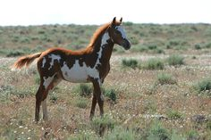Colonial Spanish Strains HORSES - Google Search