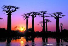 Baobas en Madagascar