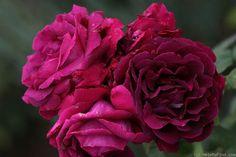'Eugène Fürst' Rose Photo