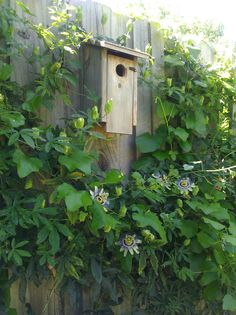 Birdhouse on fence with Passion Vine, which is SO easy to grow!