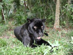 GOOD NEWS: Unusually high jaguar (Panthera onca) densities discovered in the Amazon rainforest. http://news.mongabay.com/2013/0516-fitzner-jaguar-numbers.html >> http://en.wikipedia.org/wiki/Jaguar