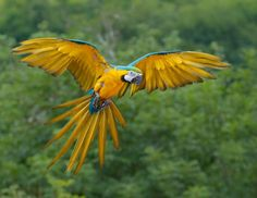 animal inspiration good for yellow and blue girl   blue macaw - Google Search