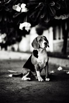 Beagle.. .  Black and White photography