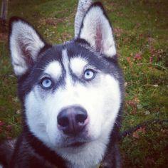 Lovely Arwen! #siberianhusky #blueeyes Arwen, Blue Eyes, Husky, Dogs, Animals, Animales, Animaux, Pet Dogs, Doggies