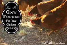 How to Grow Fodder to Feed Your Chickens