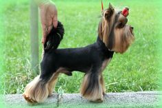 Yorkshire terrier hair cut style