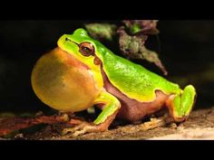 Frog Chorus 11 Hours -Sounds of Nature 28 of 59 - Pure Nature Sounds - YouTube
