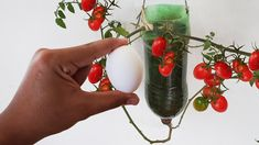 🍅DICA SIMPLES QUE EXPLODE A PRODUÇÃO DE TOMATE CEREJA - YouTube Container Gardening Vegetables, Vegetable Garden, Bonsai, Home And Garden, Fertilizer For Tomatoes, Gardening Tips, Small Vegetable Gardens, Growing Blackberries, Grow Tomatoes