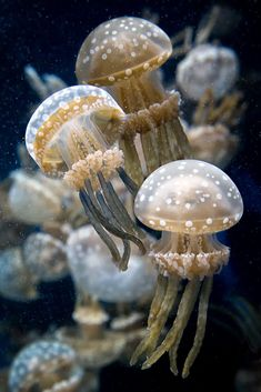 The Spotted Jelly (Medusa moteada) lives in the shallow lagoons and bays of the Indian and Pacific Oceans. They're small and can grow to leng...