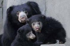Image result for cute sloth bear cubs Cute Tiger Cubs, Cute Tigers, Sloth Bear, Bear Cubs, Cute Sloth, Black Bear, Cute Baby Animals, Cute Babies, Image