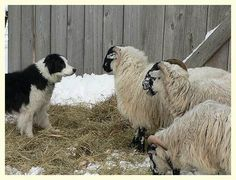 Scottish blackface sheep -
