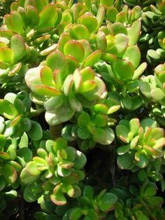 """Crassula Ovata- """"Jade Plant"""""""