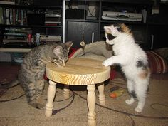 mercury le chaton a deux pattes 4   Mercury le chaton à deux pattes [video]   video T Rex patte Mercury handicap chaton chat