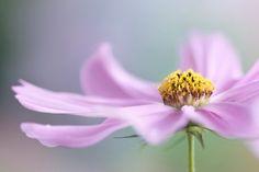 Cosmos   Flickr - Photo Sharing!