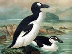 """Read """"I Was the Great Auk: A Book"""" by William Sabin available from Rakuten Kobo. I was the great auk, a bird.We were a bit like the penguin. Like penguins, we were black and white. Extinct And Endangered Animals, Extinct Birds, Mammals, Great Auk, Vintage Bird Illustration, Nature Illustration, Flightless Bird, Charles Darwin, Prehistoric Creatures"""