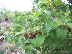 Thinleaf Alder: large, tree-like shrub; up to 30 feet tall, 6-inch diameter trunk, small cone-like fruit