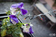 https://flic.kr/p/BLjC5j | Capodanno tra viole e lucine