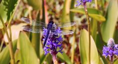 Releasing blame   Spirit of Dragonflies