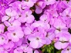 15 Geranium Film Coated MultiBloom Lavender Multi Bloom Zonal Geranium Seeds