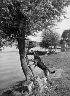 Bei Fuß! Können Hunde eigentlich auf Bäume klettern? Seidenstücker fotografierte diese Szene mit offenem Ausgang 1925 an einem See bei Berlin.