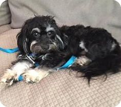 Atlanta, GA - Shih Tzu Mix. Meet Doodle, a dog for adoption. http://www.adoptapet.com/pet/16248779-atlanta-georgia-shih-tzu-mix