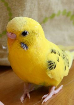 There are many behaviors that a budgie will do naturally. With some practice, you can give a cue for the natural behavior, and then have a nice behavior your budgie can perform upon request.