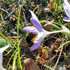 Kevätkukka ©kirsisaarikko #pientalojapiha