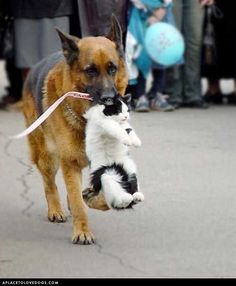 German Shepherd rounding up cats