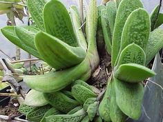 """Image result for Gasteria """"Lime Warty"""