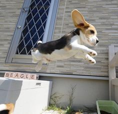 Beagle is one of the most popular dog breeds in the world. So if you`re a true lover of this breed and own a Beagle puppy, here is the list of 125 Beagle dog names for any taste! Cute Beagles, Cute Puppies, Cute Dogs, Dogs And Puppies, Doggies, The Animals, Baby Animals, Funny Animals, Baby Beagle
