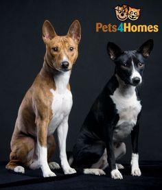 Basenji Dog Breed Information, Facts, Photos, Care | Pets4Homes