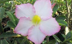 Rosa do Deserto - Desert Rose: Adenium [Family: Apocyanaceae]