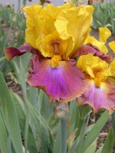 Megabucks Iris