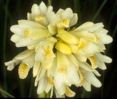 Orchid: Eulophia leontoglossa