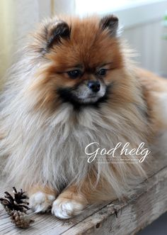 My sweet dog, Bamse (Pomeranian) at home <3 - http://mettesinlilleverden.blogspot.no/2013/02/en-riktig-god-helg.html