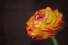 Ranunculus, Flower, Blossom, Bloom