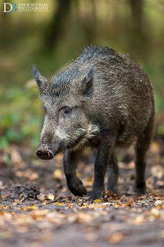 Wild Boar in Forest of Dean, Gloucestershire