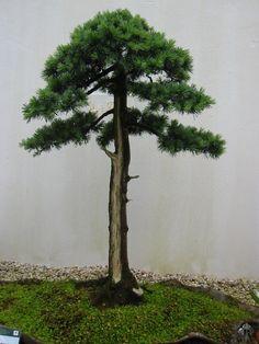 JP: Cedar (Cedrus) bonsai tree