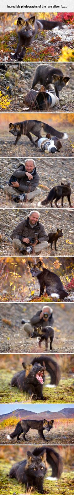 "The silver fox is a melanistic form of red fox. Melanism is when the animal's coloring is much darker than normal.  Interestingly, fox squirrels, who have brownish body fur and reddish tummy fur also have a melanistic form that resembles this.  I had a ""black"" fox squirrel that I hand raised.  He lived to be 12 years old, a full ten years longer than he would have in the wild."