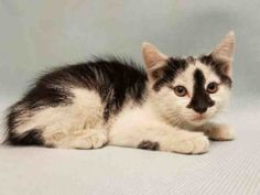 ***TO BE DESTROYED 09/13/16*** 9 WEEK OLD BRADIE NEEDS TO SEE A VET BUT THE ACC…
