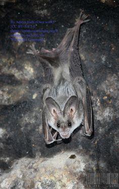 The Greater False Vampire Bat: Beautiful Bat Facts