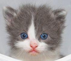 Grey and White Kitten [redux]  kitten