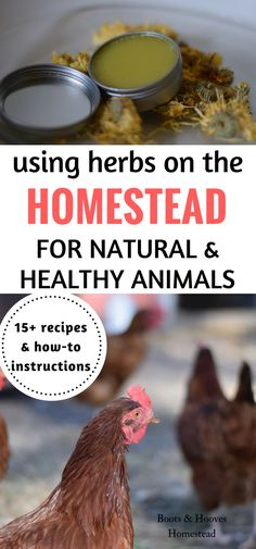 The Ultimate Herbs on the Homestead How-To Guide    Why you should add herbs on the homestead! Over 15 plus recipes & how-to instructions for using herbs on the homestead, including the home & barnyard.
