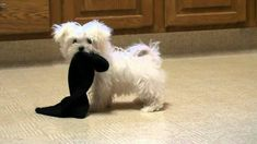 Maltese with smelly, I'm sure, sock.