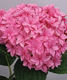 Back near carport. This reblooming mophead hydrangea has extra sturdy stems that hold dense, full double blooms upright. Pink or purple-blue clusters are packed with delicate star-shaped florets. Perfection has a compact, mounded habit that fits small gardens well.