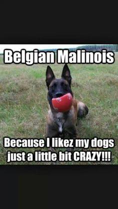 Belgian Malinois: because I likez my dogs a little bit crazy