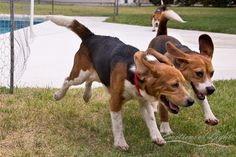Beagle Rescue Delivers Nine Dogs From the Lab to Loving Homes (VIDEO)