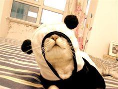 http://www.hawaiikawaii.net/wp-content/uploads/2011/08/Cat-In-A-Panda-Costume.jpg