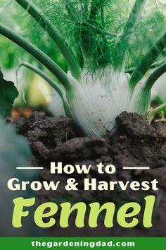 Learn easy tips on How to Grow & Harvest Fennel. This Beginner's Guide to Growing Fennel will give you garden ideas for planting and growing a great vegetable garden!  #fennel #vegetablegarden #gardening Growing Fennel, Growing Herbs, Growing Vegetables, Herb Garden, Vegetable Garden, Garden Inspiration, Garden Ideas, Organic Vegetables, Chickens Backyard