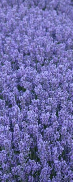 Lots of Lavender
